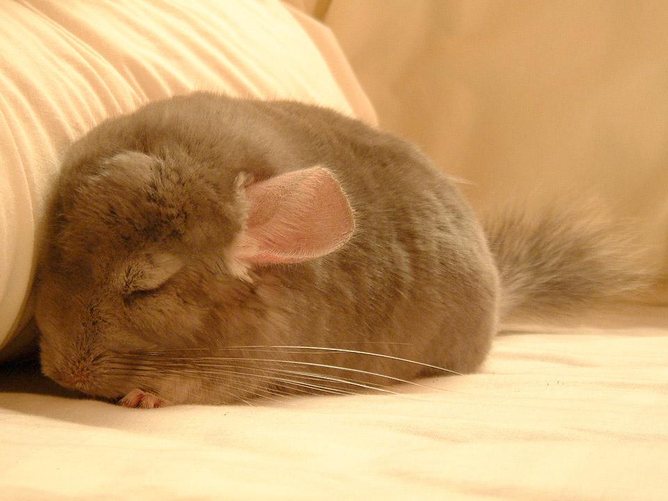 DAPZWD_dierenartsenpraktijk-meppel_content-chinchilla-slapen