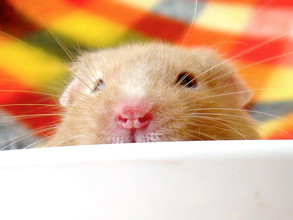 DAPZWD_dierenartsenpraktijk-meppel_content-hamster-01