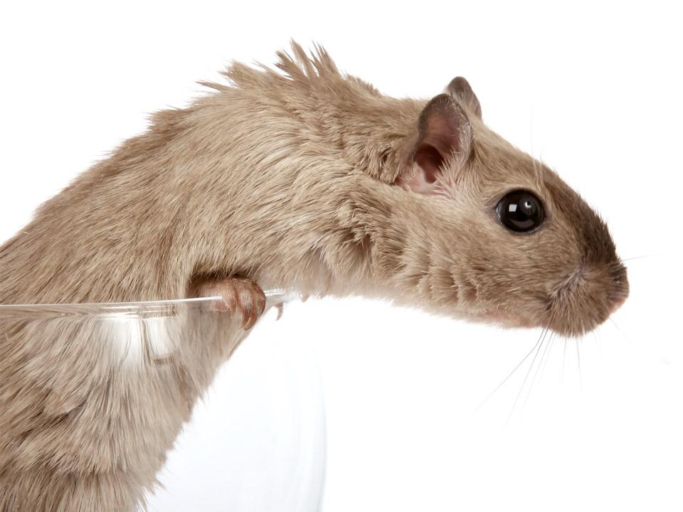 DAPZWD_dierenartsenpraktijk-meppel_content-hamster-04