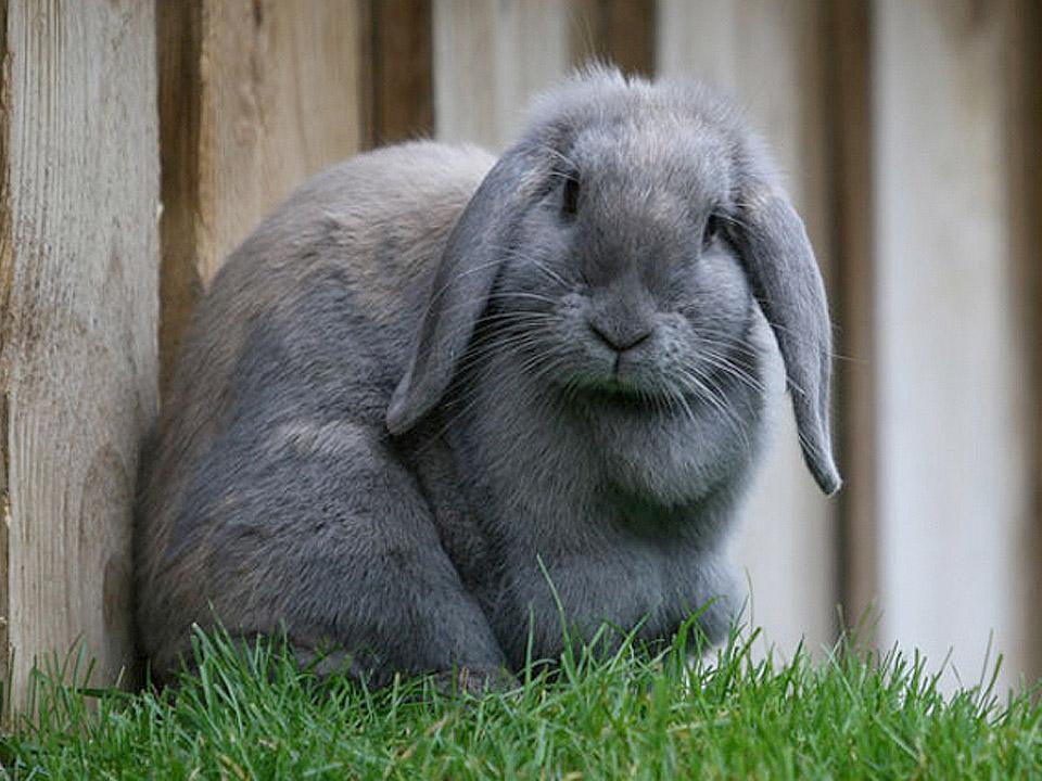DAPZWD_dierenartsenpraktijk-meppel_content-konijn-grijs