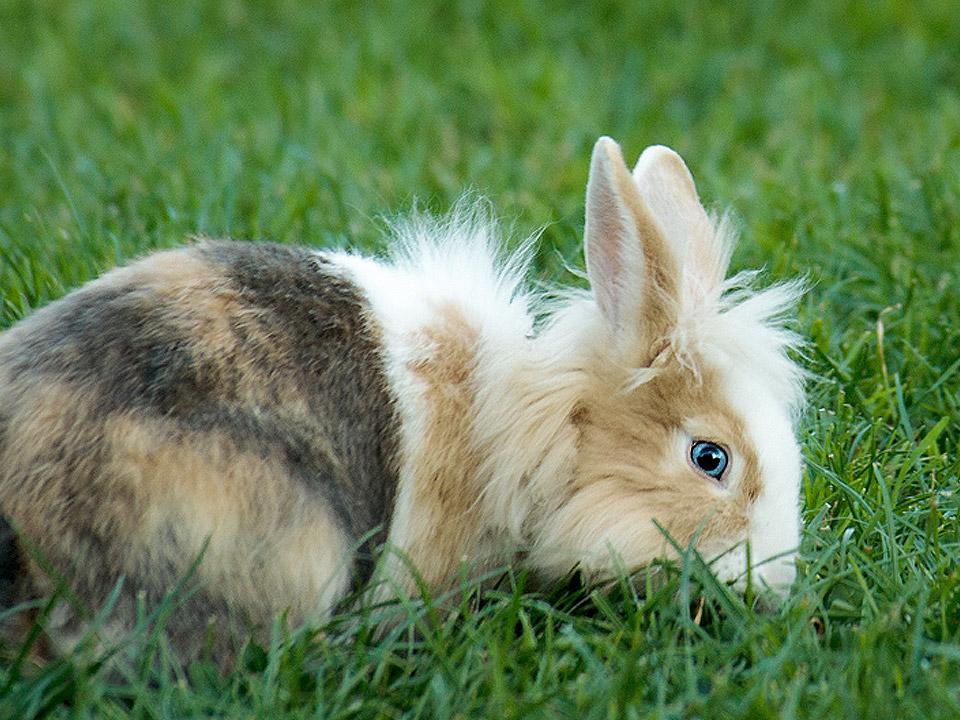 DAPZWD_dierenartsenpraktijk-meppel_content-konijn-langharig