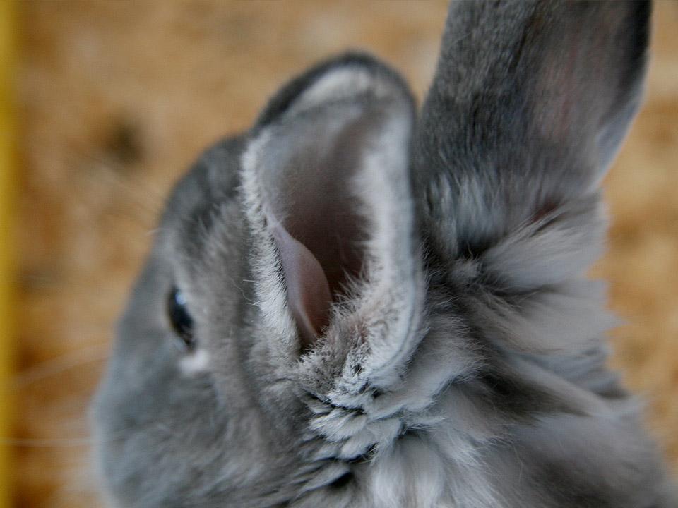 DAPZWD_dierenartsenpraktijk-meppel_content-konijn-oren