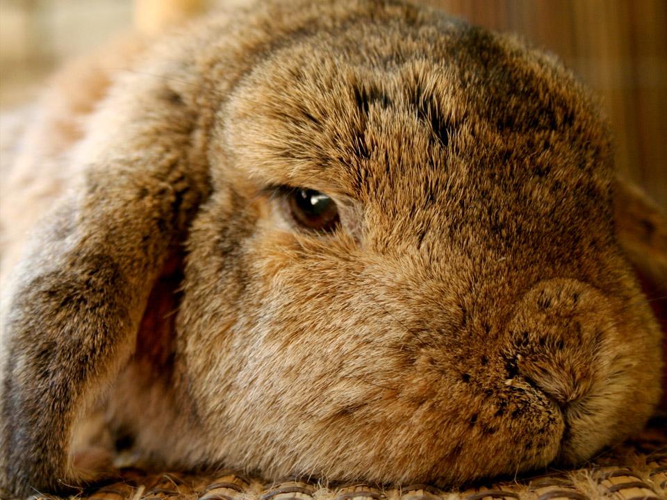 DAPZWD_dierenartsenpraktijk-meppel_content-konijn-volwassen