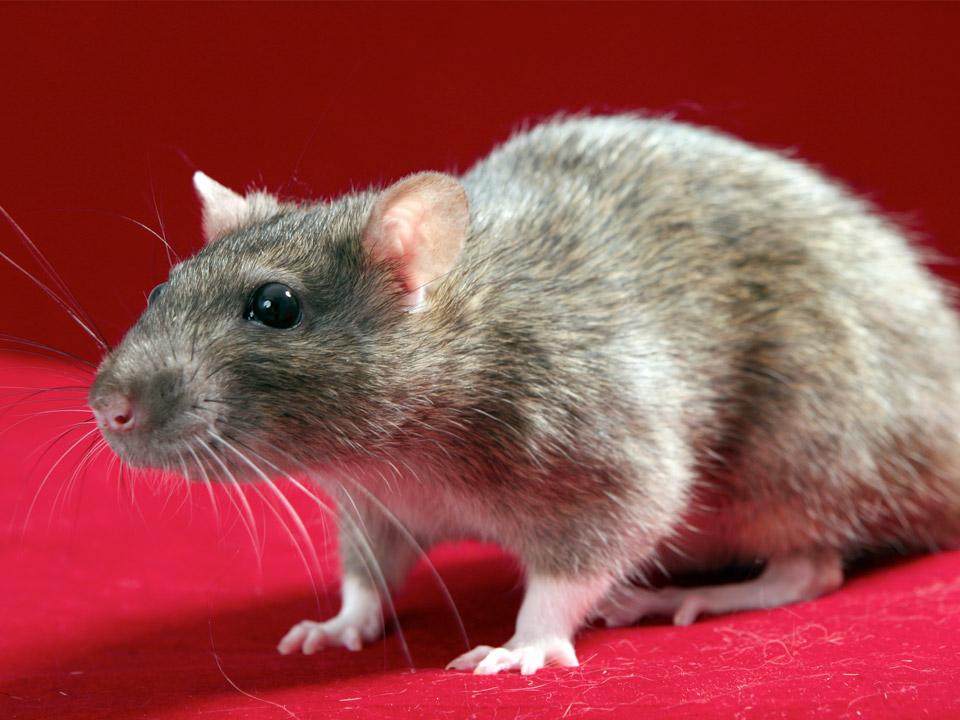 DAPZWD_dierenartsenpraktijk-meppel_content-ratten-02