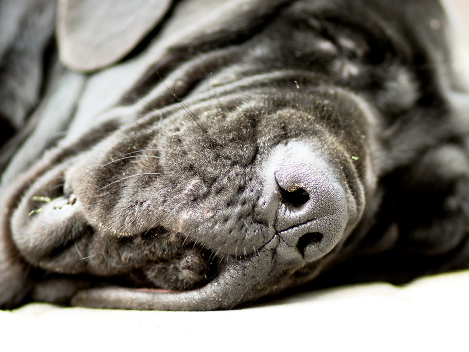 DAPZWD_dierenartsenpraktijk-zuidwest-drenthe_content_hond-groot