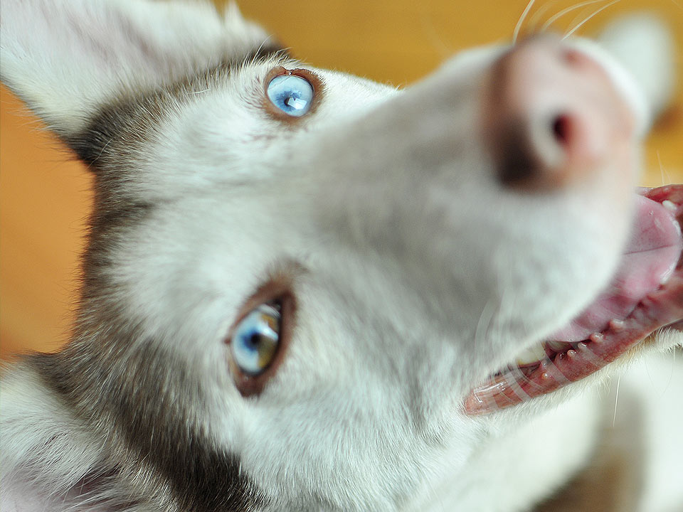 DAPZWD_dierenartsenpraktijk-zuidwest-drenthe_content_hond-husky