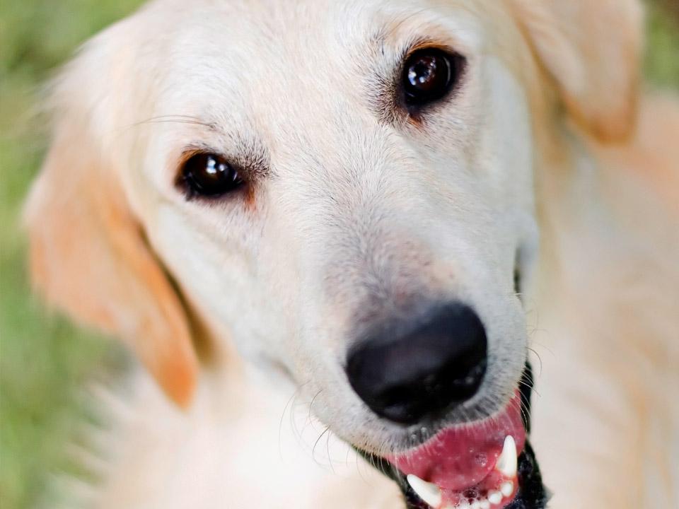 DAPZWD_dierenartsenpraktijk-zuidwest-drenthe_hond-allergie-golden-retriever