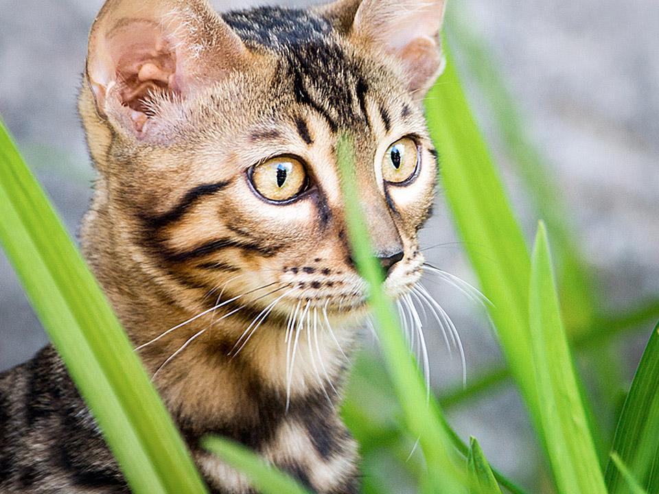 DAPZWD_dierenartsenpraktijk-zuidwest-drenthe_kat-gras
