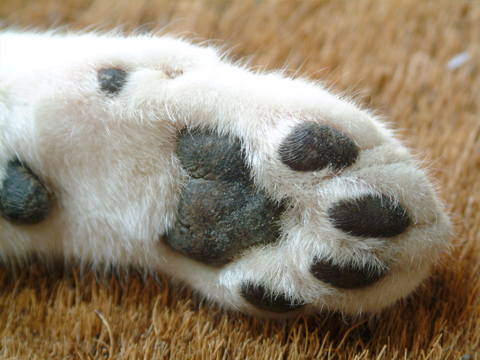 DAPZWD_dierenartsenpraktijk-zuidwest-drenthe_kat-poot