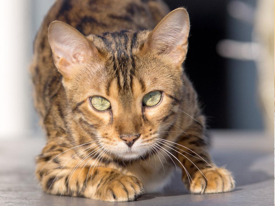 DAPZWD_dierenartsenpraktijk-zuidwest-drenthe_kat-sluipen