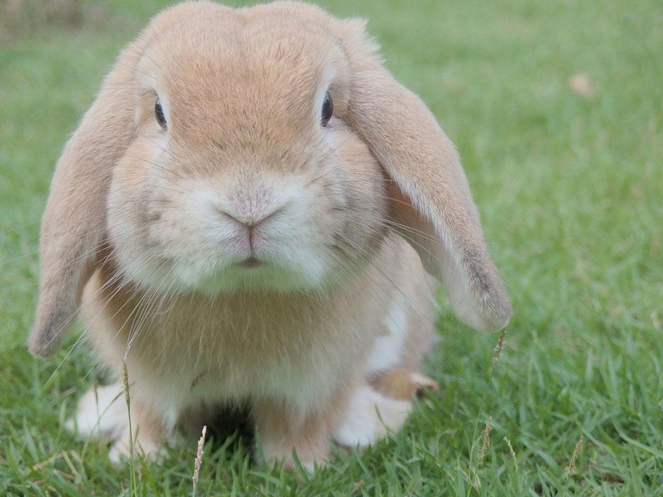 konijnen vaccineren