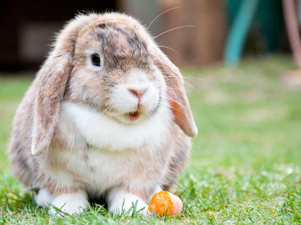 konijnen-03_DAPZWD-Dierenartsenpraktijk-Zuidwest-Drenthe-Meppel