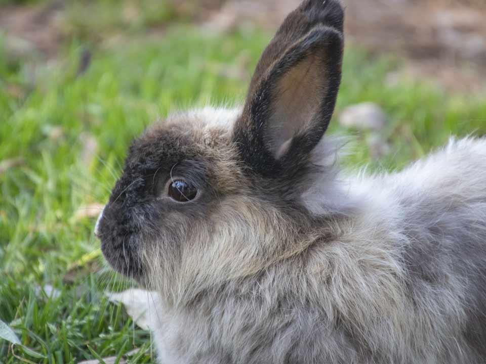 konijn-volwassen-langhaar_DAPZWD_Dierenartsenpraktijk-Zuidwest-Drenthe-Meppel-Nijenveen