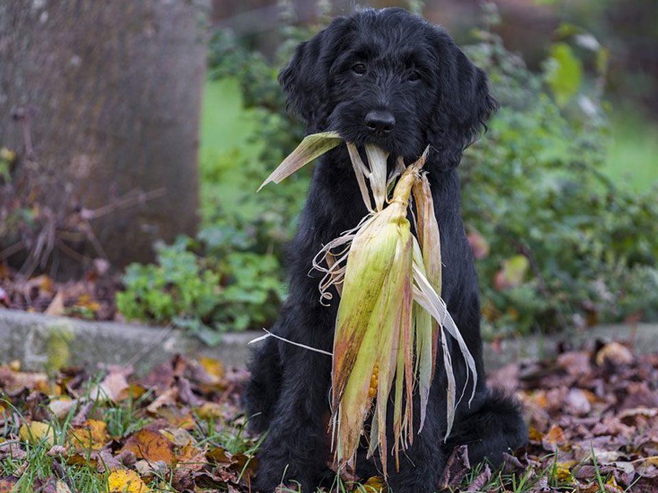 hond-herfst-mais-eikels-die